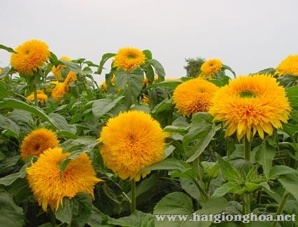 hoa huong duong helianthus211 - Hoa hướng dương xù