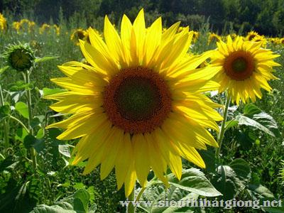 hoa huong duong helianthus3 - Hoa Hướng dương lùn
