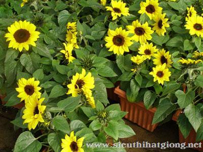 hoa huong duong helianthus6 - Hoa Hướng dương lùn