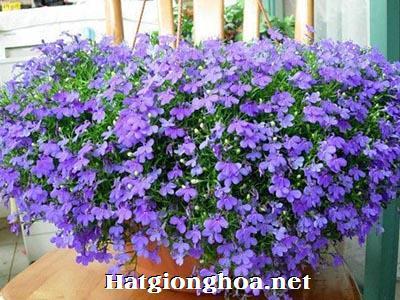 hoa lobelia3 - Công ty hạt giống hoa, cửa hàng hạt giống hoa đẹp chất lượng cao
