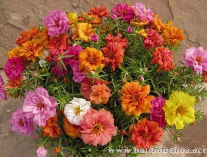 hoa muoi gio31 - Hoa Mười giờ Mỹ rủ