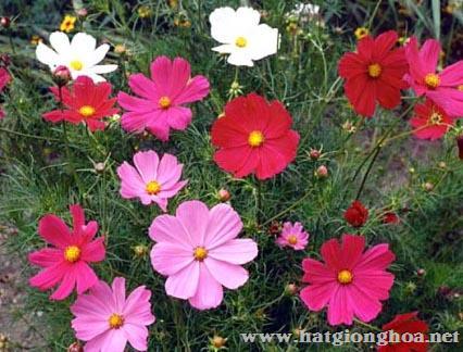hoa sao nhai cosmos2 - Hoa Cánh bướm