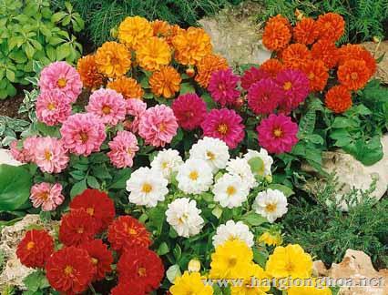hoa thuoc duoc1 - Hoa Thược dược