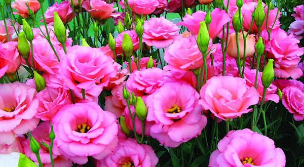 ky thuat trong hoa cat tuong -  Những gốc cây nở hoa làm đẹp cho vườn
