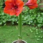 Kỹ thuật trồng và chăm sóc hoa lan huệ