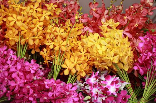 Kỹ thuật trồng hoa lan cắt cành   nhóm lan Mokara