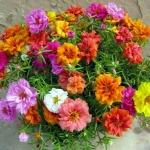 Sự tích hoa vạn thọ