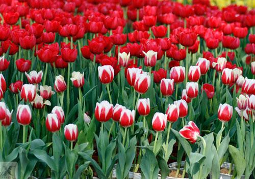 loai hoa tulip - Sự tích hoa Tulip