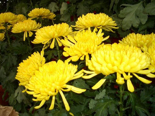 su tich hoa cuc - Sự tích hoa cúc