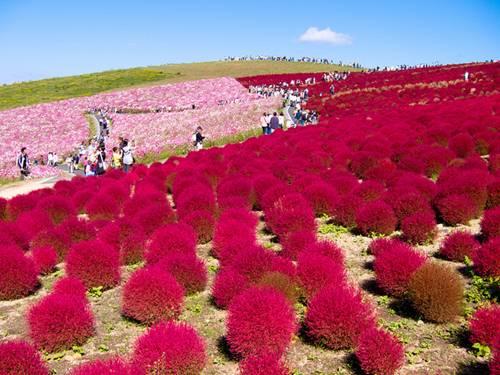 thien duong hoa nhat ban 10 -  Lạc vào thiên đường hoa ở xứ sở mặt trời mọc