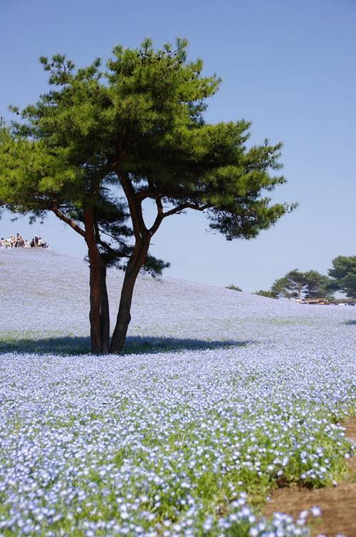 thien duong hoa nhat ban 3 -  Lạc vào thiên đường hoa ở xứ sở mặt trời mọc