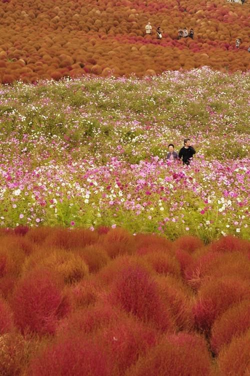 thien duong hoa nhat ban 8 -  Lạc vào thiên đường hoa ở xứ sở mặt trời mọc