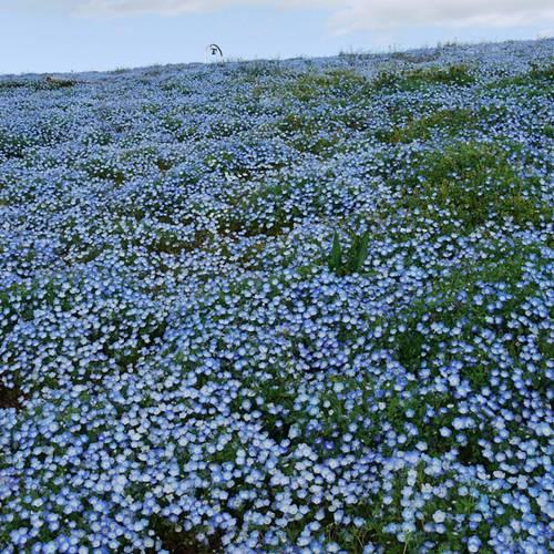 thien duong hoa nhat ban 9 -  Lạc vào thiên đường hoa ở xứ sở mặt trời mọc