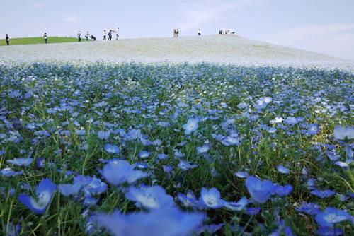 thien duong hoa nhat ban -  Lạc vào thiên đường hoa ở xứ sở mặt trời mọc