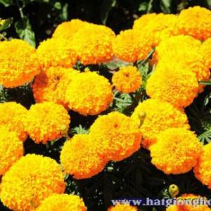van-tho-my-american-marigold6