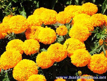 van tho my american marigold6 - Hoa Cúc Vạn thọ Mỹ