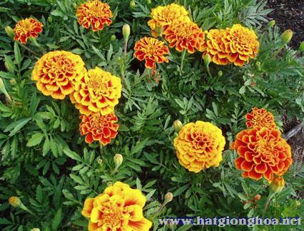 van tho phap french marigold5 - Hoa Cúc Vạn thọ Pháp