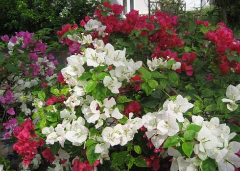 hoa giay nhieu mau - Kỹ thuật trồng và chăm sóc hoa phong lan