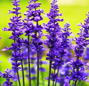 hoa-giong-hoa-oai-huong-lavender-7