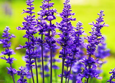 hoa giong hoa oai huong lavender 7 - Hoa Oải hương - Lavender