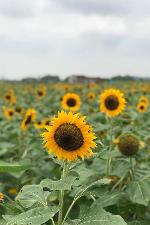 canh dong 3 hecta hoa huong duong no ro o bac giang 1 - Cánh đồng 3 hecta hoa hướng dương nở rộ ở Bắc Giang