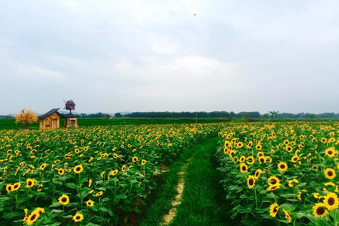 canh dong 3 hecta hoa huong duong no ro o bac giang 3 - Cánh đồng 3 hecta hoa hướng dương nở rộ ở Bắc Giang
