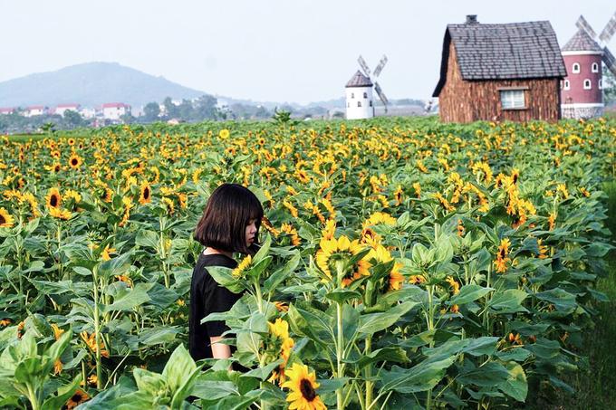 canh dong 3 hecta hoa huong duong no ro o bac giang 4 - Cánh đồng 3 hecta hoa hướng dương nở rộ ở Bắc Giang