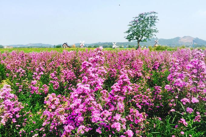 canh dong 3 hecta hoa huong duong no ro o bac giang 5 - Cánh đồng 3 hecta hoa hướng dương nở rộ ở Bắc Giang
