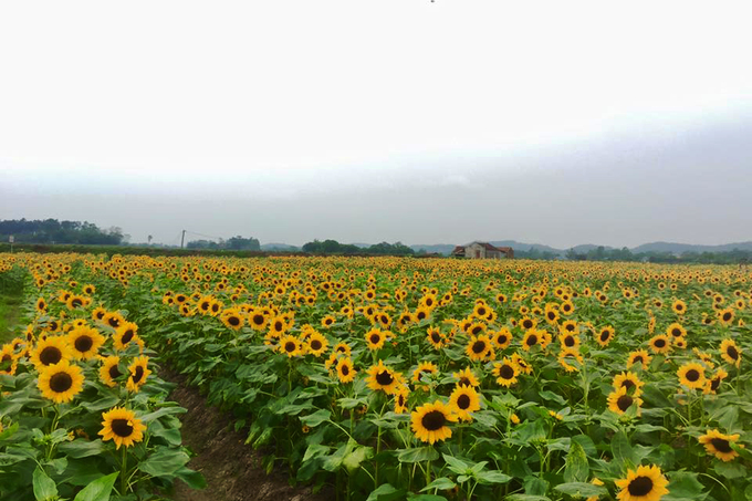 canh dong 3 hecta hoa huong duong no ro o bac giang 7 - Cánh đồng 3 hecta hoa hướng dương nở rộ ở Bắc Giang