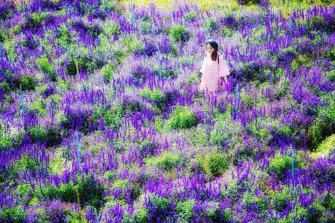 canh dong hoa nhu troi au o da lat 1 - Cánh đồng hoa như trời Âu ở Đà Lạt