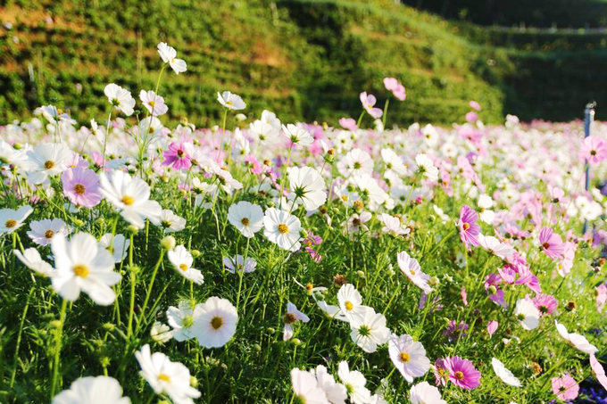 canh dong hoa nhu troi au o da lat 4 - Cánh đồng hoa như trời Âu ở Đà Lạt
