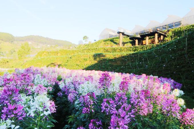 canh dong hoa nhu troi au o da lat 7 - Cánh đồng hoa như trời Âu ở Đà Lạt