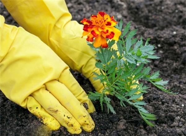 Kỹ thuật trồng cúc vạn thọ hiện nay