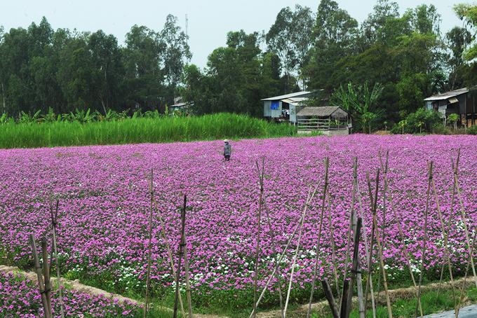 nhung canh dong hoa gay sot thoi gian qua 2 - Những cánh đồng hoa 'gây sốt' thời gian qua