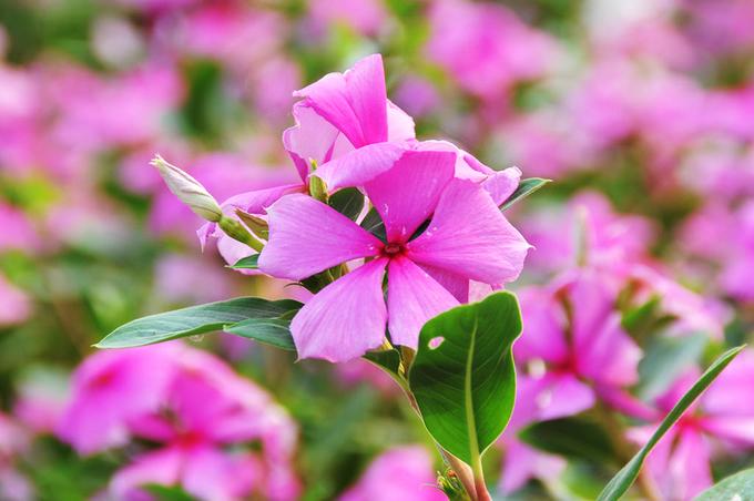 nhung canh dong hoa gay sot thoi gian qua 3 - Những cánh đồng hoa 'gây sốt' thời gian qua