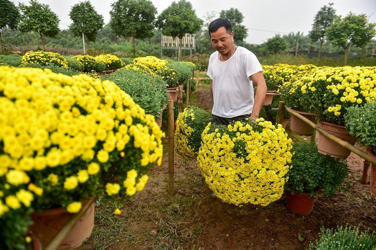 Phát sốt với vườn hoa cúc mâm xôi tuyệt đẹp ngay giữa Thủ đô
