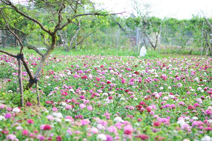 Vườn hoa tam giác mạch nở trái mùa ở ngoại ô Hà Nội