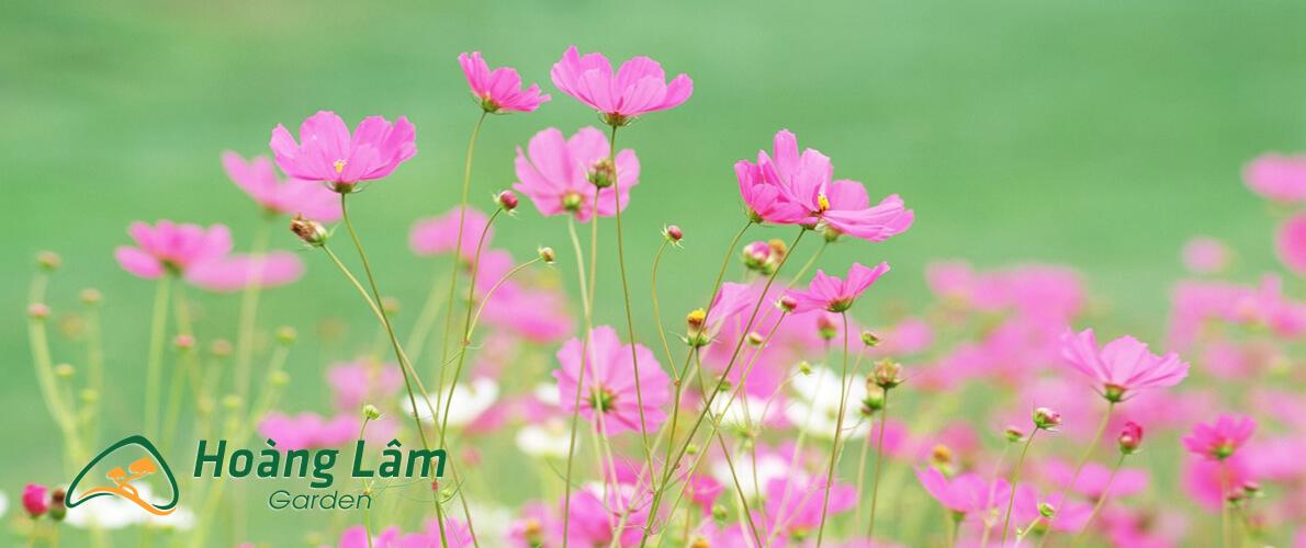 hat giong hoa hoanglam garden1 - Công ty hạt giống hoa, cửa hàng hạt giống hoa đẹp chất lượng cao