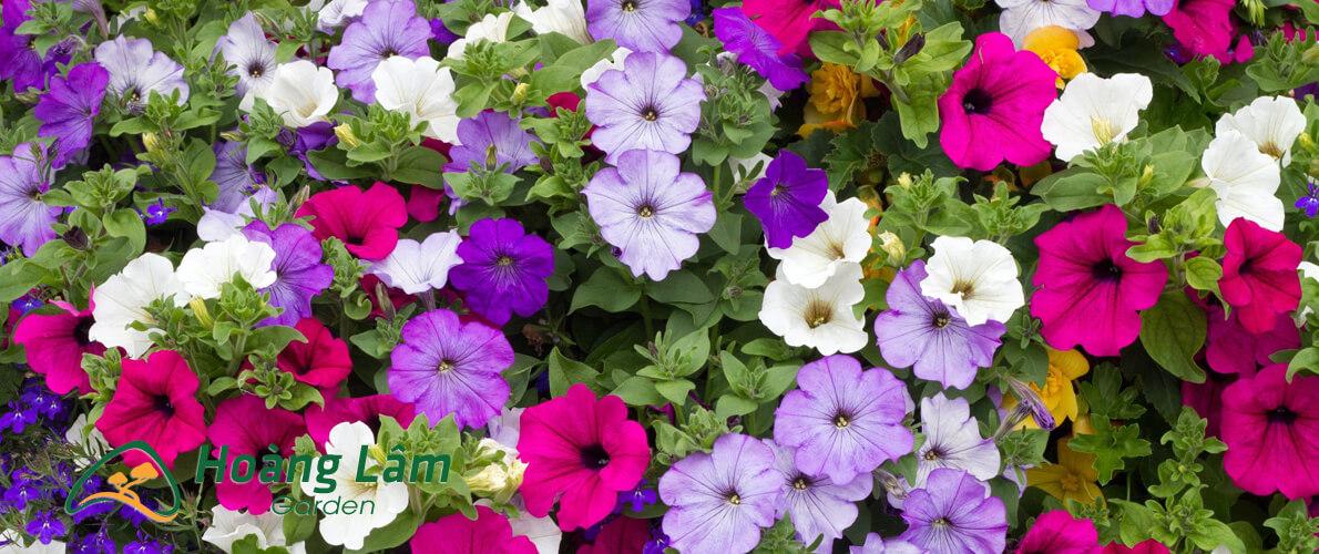 hat giong hoa hoanglam garden7 - Công ty hạt giống hoa, cửa hàng hạt giống hoa đẹp chất lượng cao